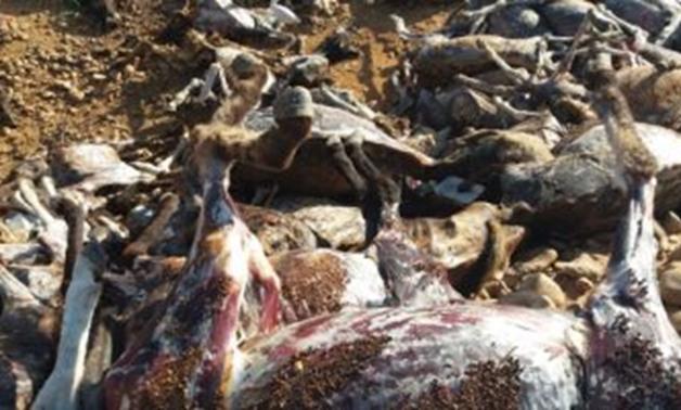 كارثة صحية.. العثور على 250 حمارا مذبوحا بمنطقة جبلية فى سوهاج